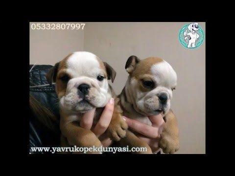 İngiliz Bulldog Yavruları 05332807997