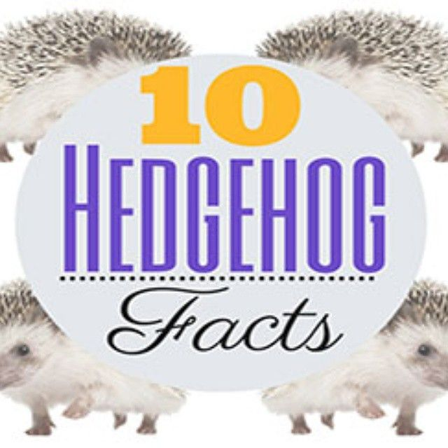 Hedgehogs make great pets, but you won't be able to enjoy you're hedgehog fully, if you don't bond. Bonding with your hedgehog will make you love your pet more and your hedgehog love you. Imagine sitting in a room with a complete stranger, you wouldn't be comfortable, but once you get to know each other, …