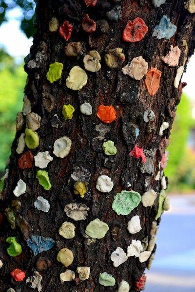 """Gum Tree"" at top of Southeast Missouri State University's Cardiac Hill"