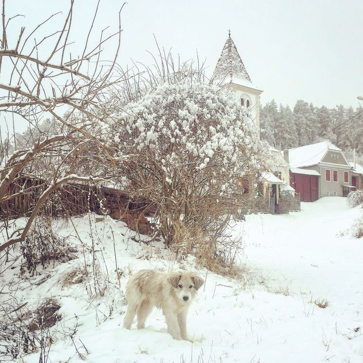 Shepard dog, playing in the fresh snow on the main road in Viscri village, Transylvania