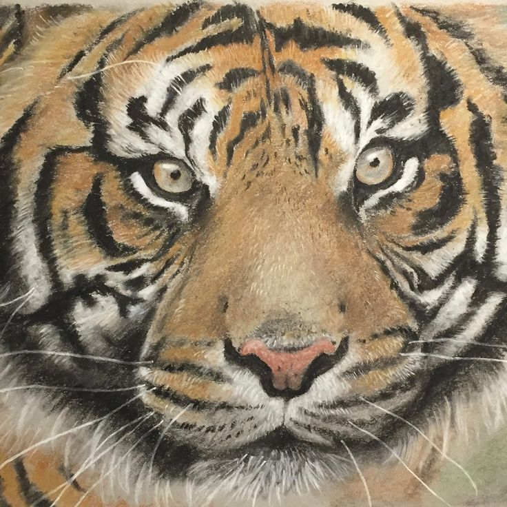 A tinted charcoal drawing of a bengal tiger by artist