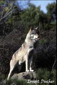 """One of the """"Beast of Gevaudan"""" which you can see at the Parc des Loups of Gevaudan."""