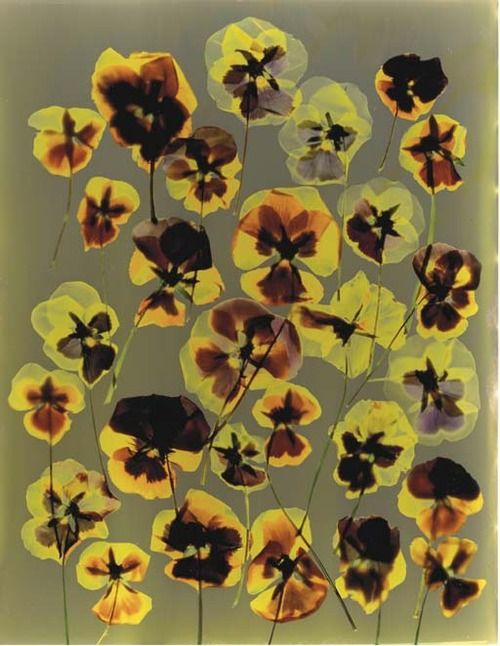 Untitled (Pansies), 1991, Adam Fuss. English Photographer borin in 1961