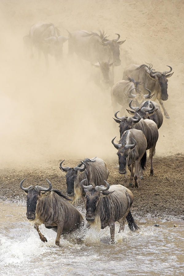 Wildebeest migration - http://www.facebook.com/pages/Pour-la-protection-des-animaux-et-de-la-nature/120423378016370
