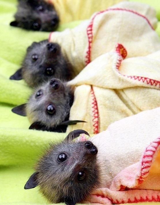 Baby bats! In baby bat blankets!