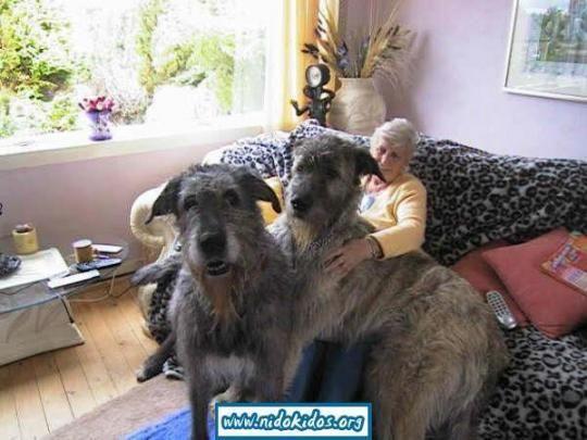 Шотландский дирхаунд. Самые большие в мире собаки