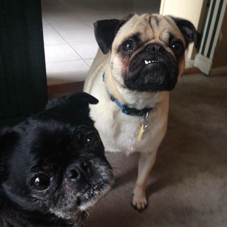 Franklin the Pug with his brother Winston. Shortly after this picture, Winston crossed the rainbow bridge, and he is waiting to greet his humans when they arrive