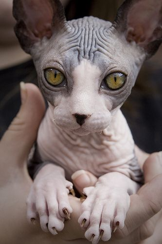 Dita by [rich] on Flickr - Beautiful Sphynx cat! Such expressive eyes!- this is in humor bc someone thought this cat was beautiful bwhaha. Maybe interesting is a better word. XD
