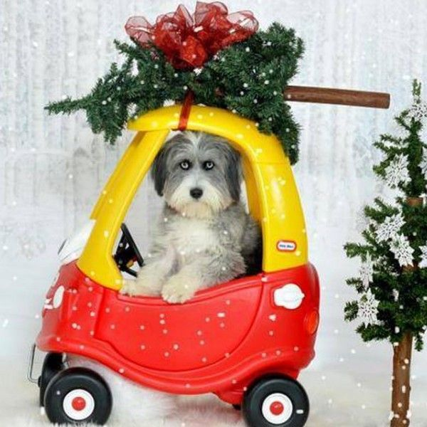 Best 25+ Dog Christmas Pictures Ideas On Pinterest