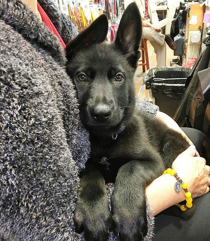 Pin on German Shepherd World