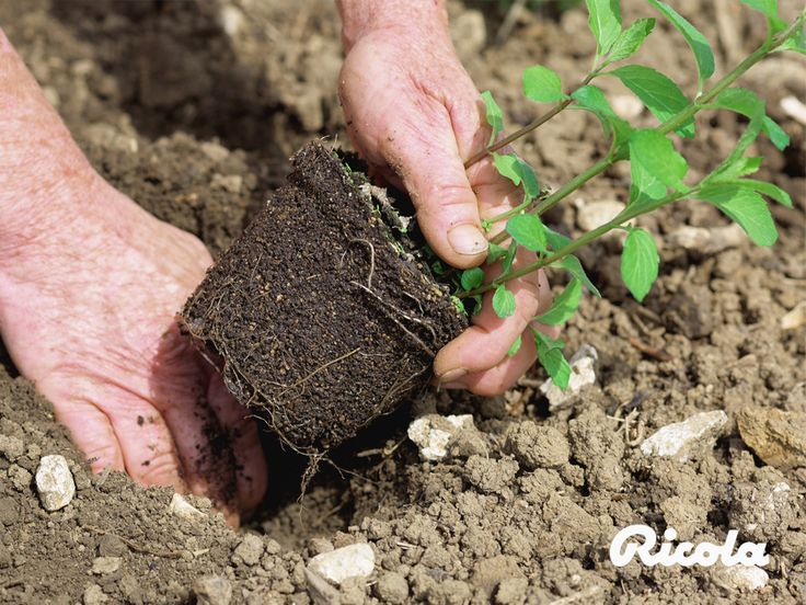 In growing its herbs, Ricola uses modern technology and traditional methods of manual cultivation. #Herbs #Planting #Ricola