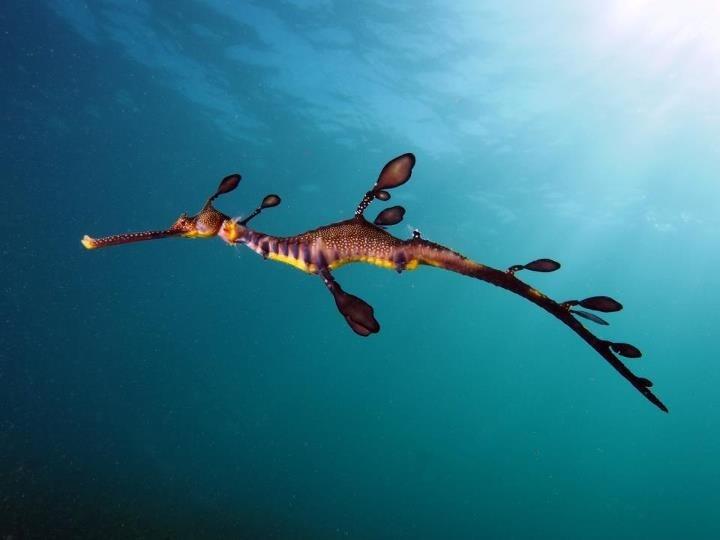 Sea Dragon from Flinder Pier Victoria Australia
