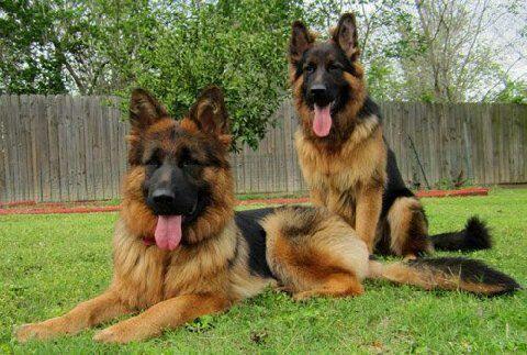 Beautiful long coat german shepherds