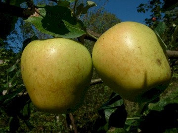 Mountain Boomer  Fruit is large to very large with pale greenish-yellow skin with an occasional red blush. Although not considered a first-rate dessert apple, it is an excellent cooking and baking apple. Mild flavored with firm, juicy flesh. Ripens in September in the mountains.