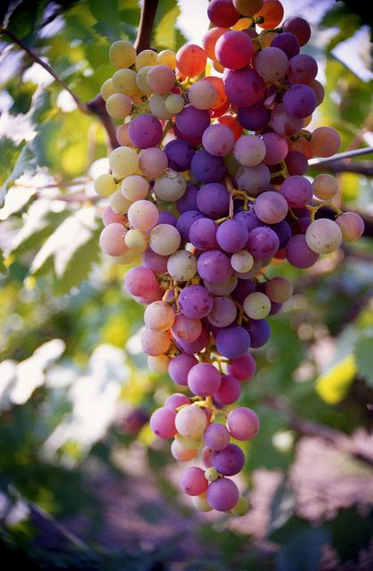 Common Grape Vine (Vitis vinifera). Origin: Mediterranean region, central Europe, and southwestern Asia, from Morocco and Portugal north to southern Germany and east to northern Iran. It can be green, red, or purple (black). Grapes can be eaten raw or they can be used for making wine, grape seed extract, raisins, vinegar, and grape seed oil.