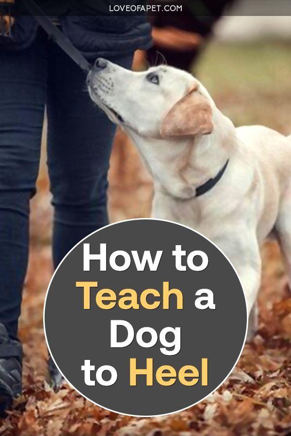 Dogheeling Dogheel Teach Dogheel Heel There How To Teach A