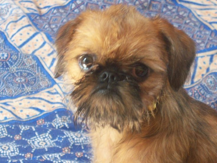 brussels griffon, cute