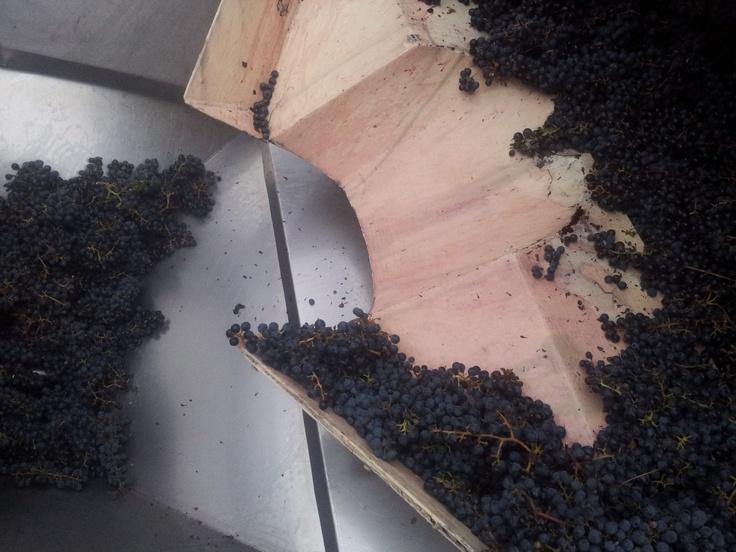 "Crushing ""pristine"" #Twisted Gum #Cabernet.  This is elegance in the making. #DrinkQLD #QLDwineweek"