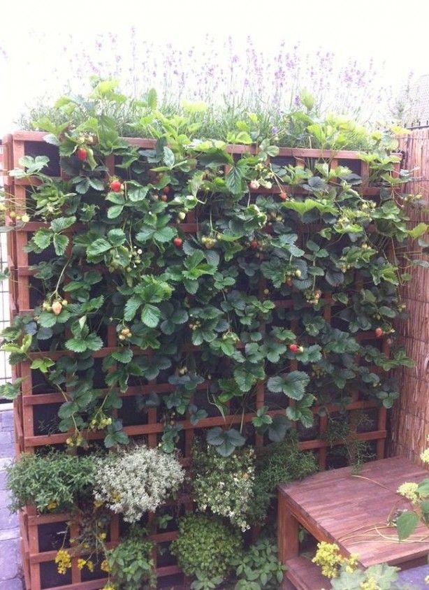 Schutting van aardbeienplanten. Handig om zo meer aardbeien te kunnen oogsten met weinig ruimte.