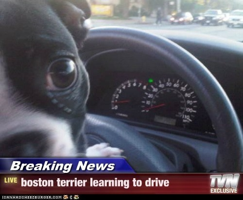 Breaking News - boston terrier learning to drive