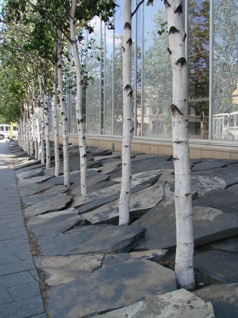 Birch, White Spire | Affordable Trees