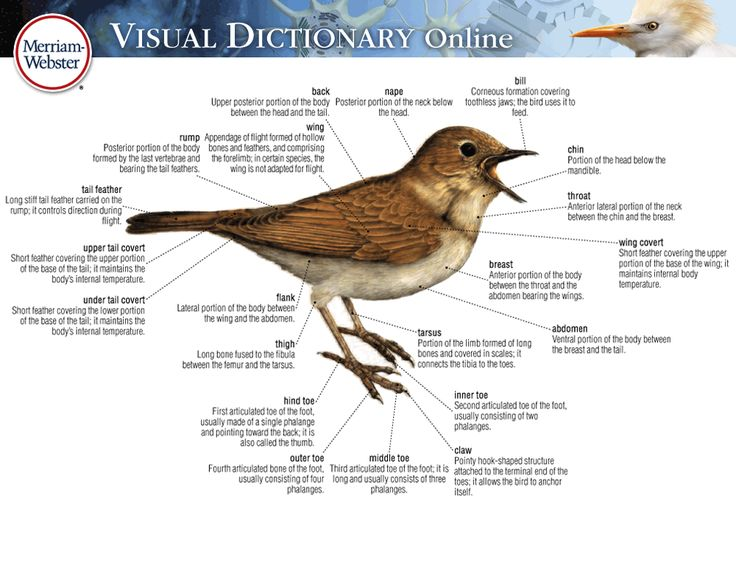 17 best images about birds on pinterest the words for Forward dictionary