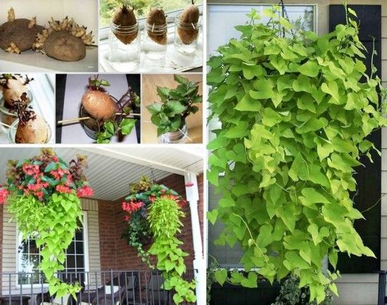 This is a nice little project to do with kids. You can grow sweet potato vines in spring or even during winter. Sweet potatoes are really simple to grow. In spring, you can just plant them in your gar