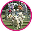 Ram Racing - a sheep race with teddy jockeys - you pick your favourite colour and cheer him on.  These races are run at long weekends over the Summer months,