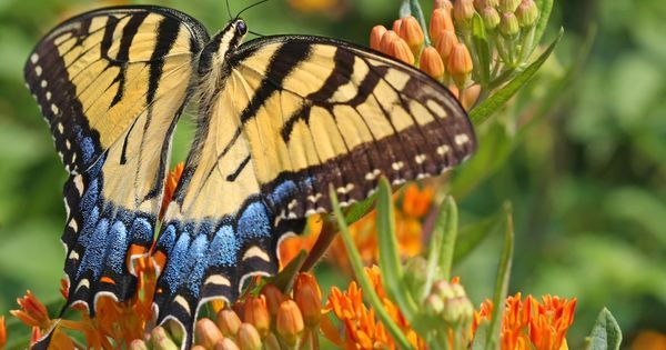 There are more than 17,500 recorded butterfly species around the world. Here's how to identify 10 of the most common butterflies found in the Americas.