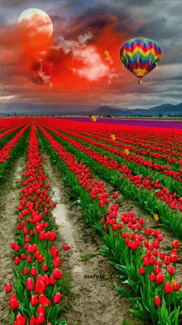 Hot air balloon on a field of red and purple tulips.