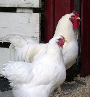 Developed in Rhode Island in 1888, the Rhode Island White chicken breed was developed by crossing White Wyandottes with Partridge Cochins and rose-comb White Leghorns... for both eggs n' meat. Large egg.