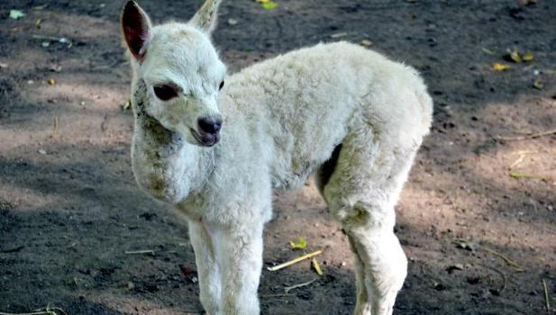Alpaka-Nachwuchs im Hammer Tierpark