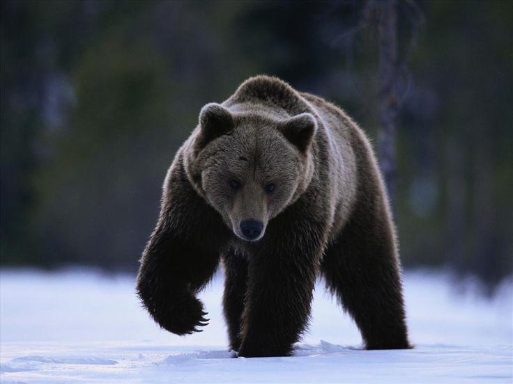 Ours brun L'ours brun (Ursus arctos) est une espèce d'ours qui peut atteindre…