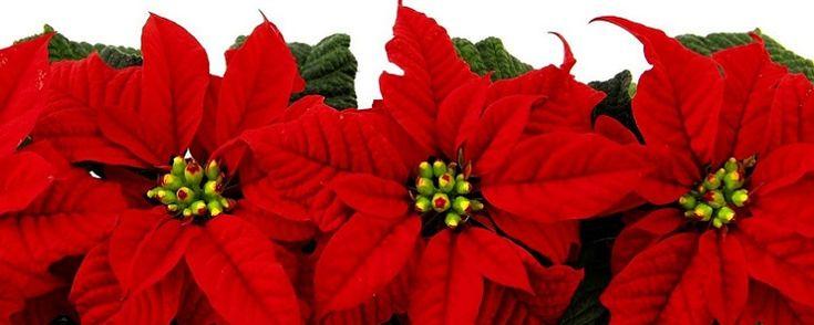 """Flor do Natal - Como cultivar e cuidar em 05 passos Apoinsétia, também conhecida porbico-de-papagaio,rabo-de-arara,papagaio,cardeal,flor-do-natal, estrela-do-natalé uma planta originária doMéxico. O seu nome científico éEuphorbia pulcherrima, que significa """"a mais bela daseufórbias"""". É uma planta mui... - http://www.precofacil.com.br/ecoblog/2017/11/24/flor-do-natal/"""