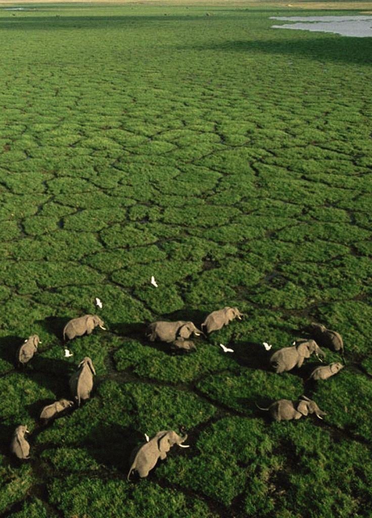 Elephants grazing in Lake Amboseli, Amboseli National Park, Kenya - George Steinmetz, Nat Geo