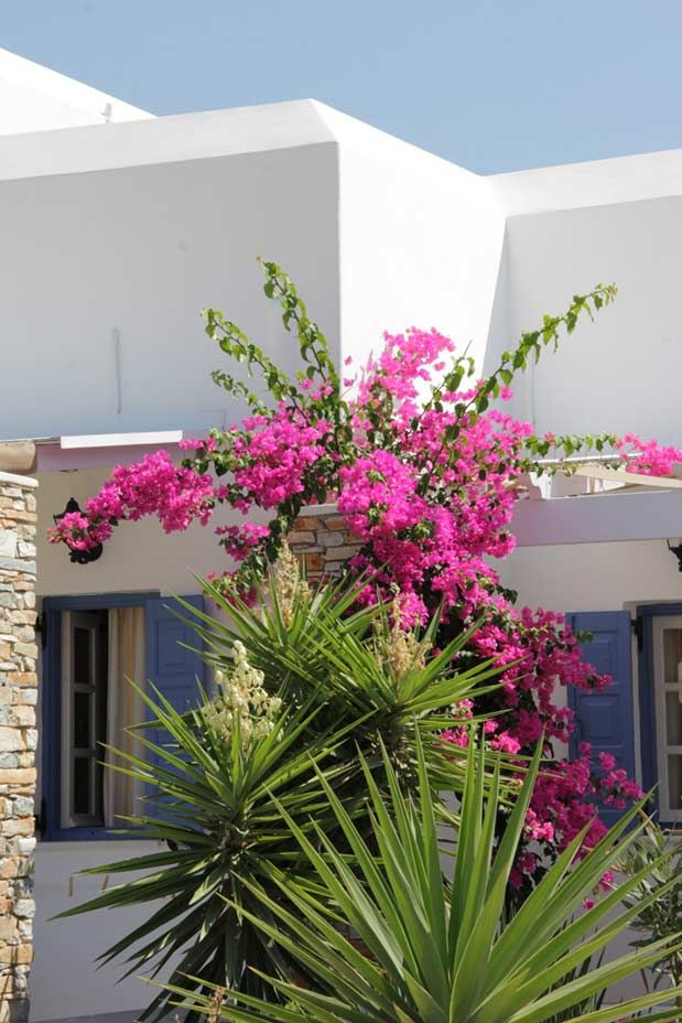 Bougainvilleas at Island House Hotel in Ios Island, Greece! http://www.islandhouse.gr/
