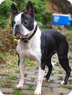 """Surrender from private breeder. Zeena was too small for the breeding program.  Contact This Rescue Group...  4 Legged Love  Pet ID #:Zeena - Boston Terrier  Phone:  Please email this shelter!  (They don't list their phone number here)  E-mail:  dogs@4leggedlove.com   Let 'em know you saw """"Zeena"""" on Adopt-a-Pet.com!  Website:  http://www.4leggedlove.com  Address:Please Email Us!  Toronto/Etobicoke/GTA, ON   M6P 1W7"""