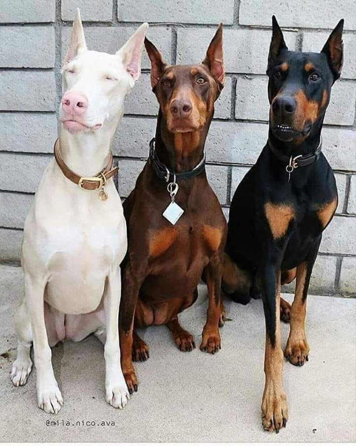 Entertaining Images From Around The Web To Waste Some Time On Wow Gallery In 2020 Doberman Puppy Doberman Pinscher Dog Pets