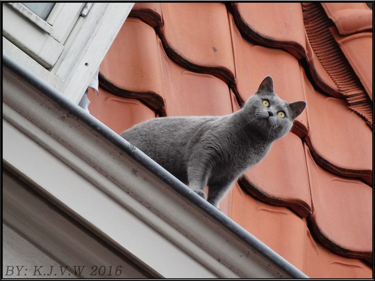 https://flic.kr/p/FyoYyK | Roof Cat | I tought this cat was fake, until it moved.