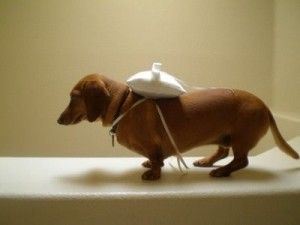 @Ellen Yoffie Wiener dog ring bearer. I want this at my wedding.