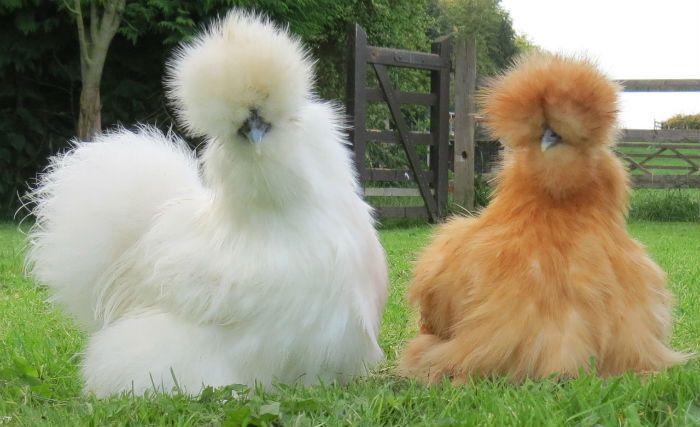 El Silkie es probable la raza pura más antigua de pollo en existencia; es un ave ornamen-tal, y es apreciada por su carne debido a su color negro o gris. Tiene la tendencia a volverse clueca. Son muy buenas madres, a menudo usados para la incubación de huevos para incubar o de otras aves. El Silkie es un pollo bantam, y está disponible en dos variedades, con barba y sin barba.