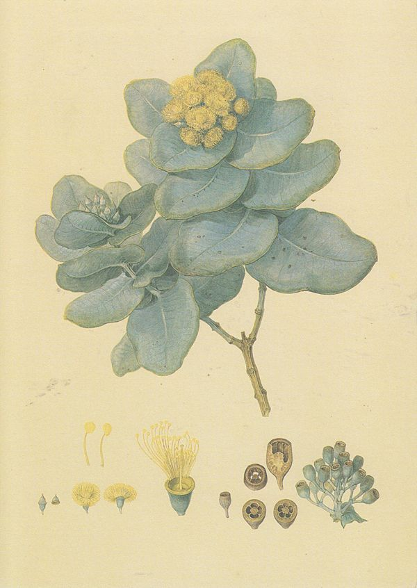 "Eucalyptus pruinosa (Silver box gum) from the ""Australian Drawings of Ferdinand Bauer"". This beautiful watercolour was painted during, and shortly after, the Matthew Flinders voyage of circumnavigation of Australia (1801 – 1805)."