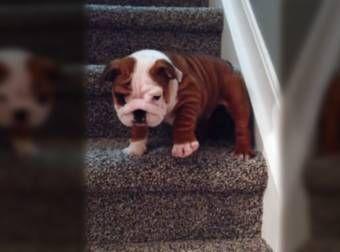 Adorabile Bulldog inglese Cucciolo conquista la Scala facendo un salto di fede