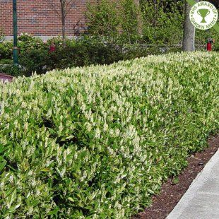 Prunus laurocerasus 'Otto Luyken' | Compact Laurel hedging