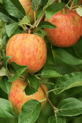 Honeycrisp Apples are large, firm and juicy with an incredibly sweet yet tangy flavor. They're perfect as a refreshing snack and for baking. Home grown apples are juicier and more flavorful than store bought ones.