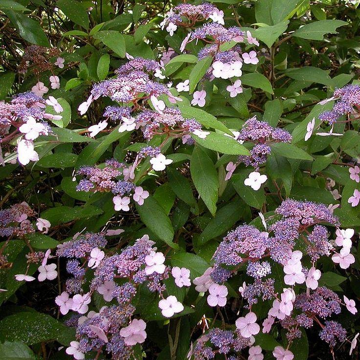 Hydrangea aspera 'Villosa' - Hortensia rugueux bleu