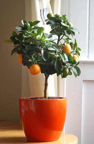 Add some color indoors with an indoor orange tree! If I had