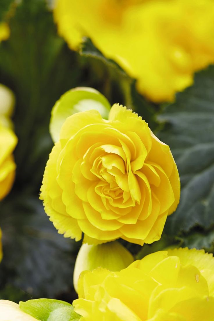 Tried & True Begonia Nonstop Joy Yellow: Large, bright yellow double blooms perfect for hanging baskets and combo planters