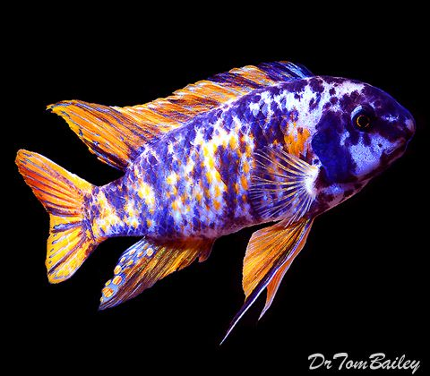 68 best images about cichide africain on pinterest for Colorful freshwater fish for sale