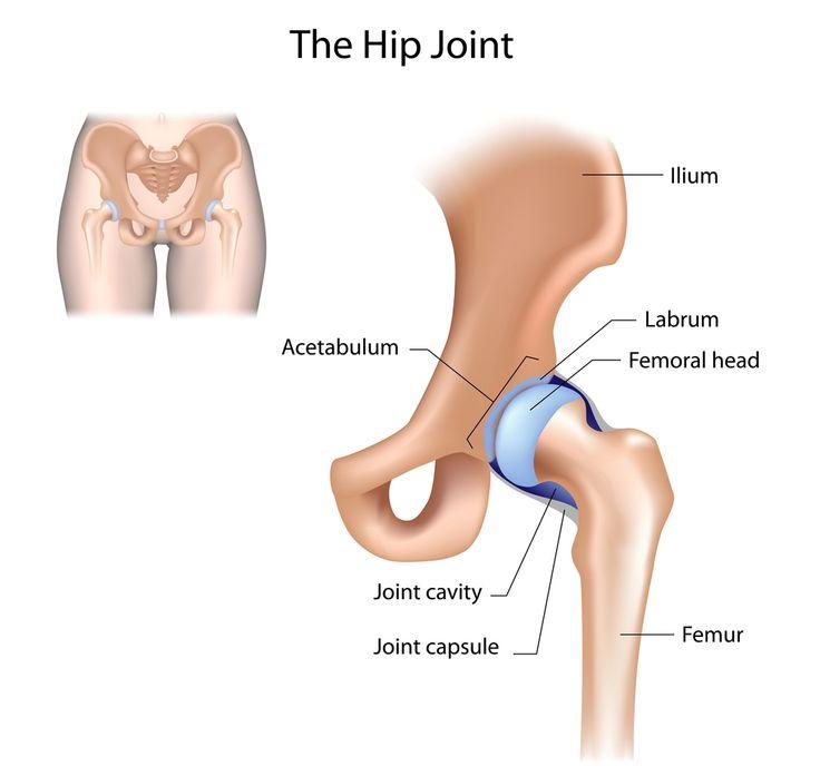 the 25+ best hip joint anatomy ideas on pinterest | knee joint, Skeleton